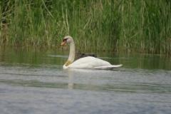 Höckerschwan (Cygnus olor)