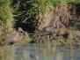 Sichler (Plegadis falcinellus)