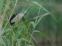 Zwergdommel (Ixobrychus minutus)